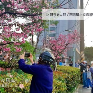 【士林120号緑地】台北の小さな公園で桜が満開です! | 貪吃馬麻與愛玩寶的生活日記